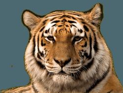 TigreReal250
